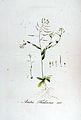 Arabis thaliana — Flora Batava — Volume v5.jpg