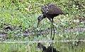 Aramus guarauna (Limpkin) 43.jpg