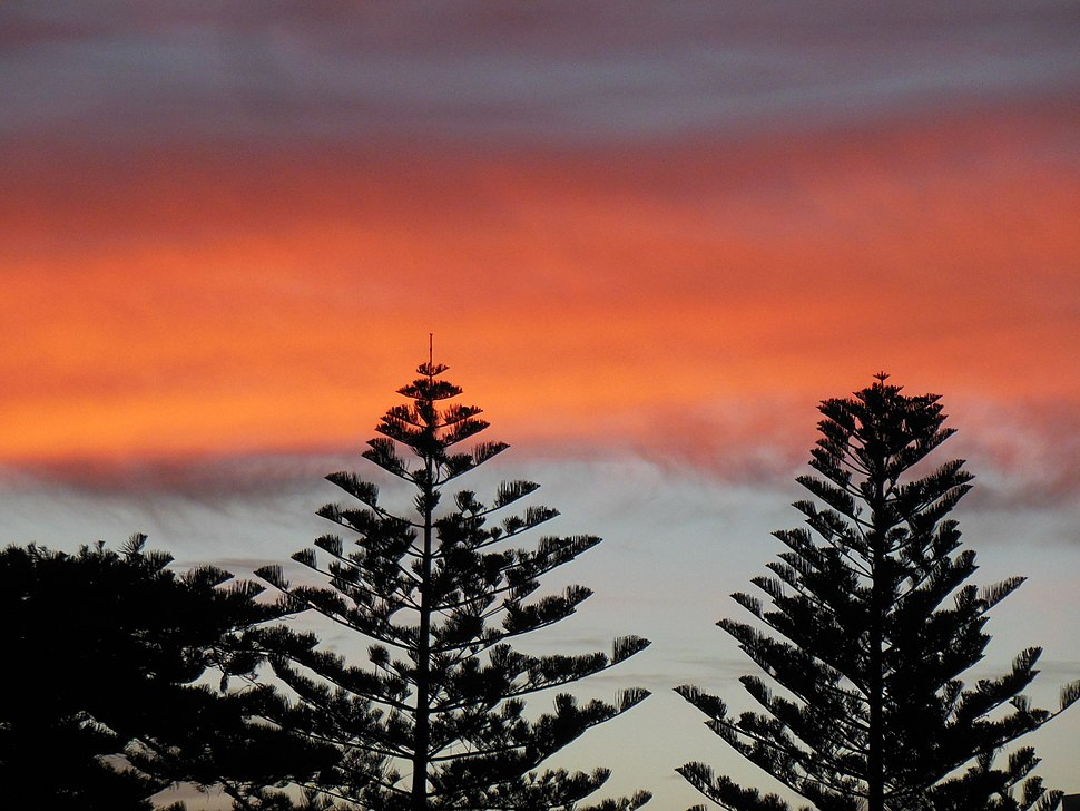 Araucaria trees at sunset in Henley Beach