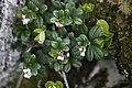 Arctostaphylos uva-ursi - img 25648.jpg