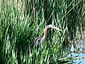 Ardea purpurea (8751990096).jpg