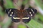Ardys crescent (Anthanassa ardys) female.jpg