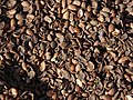 Argan seeds.jpg