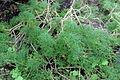 Argyranthemum sundingii (2) CP serre 2 (19599340173).jpg