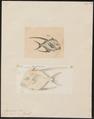 Argyreiosus vomer - 1700-1880 - Print - Iconographia Zoologica - Special Collections University of Amsterdam - UBA01 IZ13500423.tif