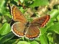 Aricia agestis (Lycaeinidae) (Brown Argus) - (imago), Elst (Gld), the Netherlands.jpg