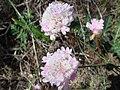Armeria macrophylla 1.JPG