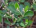 Aronia melanocarpa, Christchurch Botanic Gardens, Canterbury, New Zealand 09.jpg