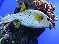 Arothron nigropunctatus.001 - Aquarium Finisterrae.JPG
