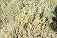 Arthrocnemum. Barbette. Spain (37498318150).jpg