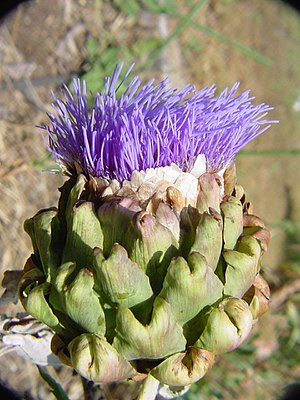 Blühende Artischocke (Cynara cardunculus)