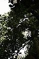 Artocarpus heterophyllus 24zz.jpg