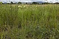 Asclepias subverticillata - Flickr - aspidoscelis (1).jpg