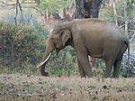 Asian Elephant Tusker in heat (32027001860).jpg