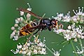 Asian hornet (Vespa velutina).jpg