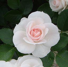 Aspirin rose (7592668410).jpg
