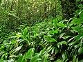 Asplundia insignis (Cyclanthaceae).jpg
