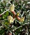 Astragalus aequalis 2.jpg