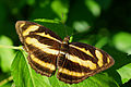 Athyma cama zoroastes female dorsal view 20141012.jpg