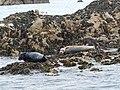 Atlantic grey seals - geograph.org.uk - 2379767.jpg