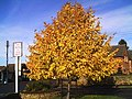 Autumn tinted tree - geograph.org.uk - 280304.jpg