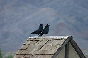 Corvus corax This photo shows a pair of birds ...