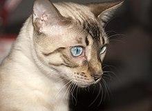 Bengal cat - Wikipedia