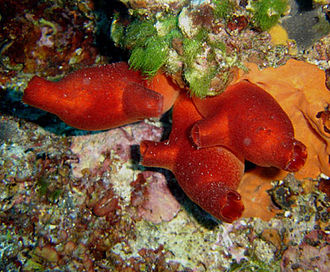 Chordate - Tunicates: sea squirts