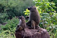 http://upload.wikimedia.org/wikipedia/commons/thumb/c/cc/Baboons_on_rock.jpg/220px-Baboons_on_rock.jpg