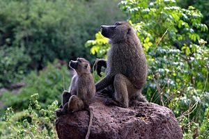 Baboon - Olive baboon with mother, Lake Manyara National Park, Tanzania