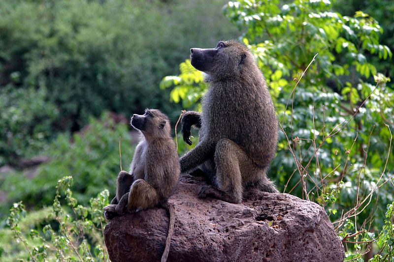 Mommy Baboon and Baby Baboon