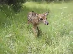 Податотека:Baby fawn's first steps.ogv