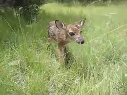 Lêer:Baby fawn's first steps.ogv