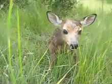 File:Baby fawn's first steps.ogv
