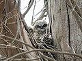 Baby horned owl (34934456985).jpg