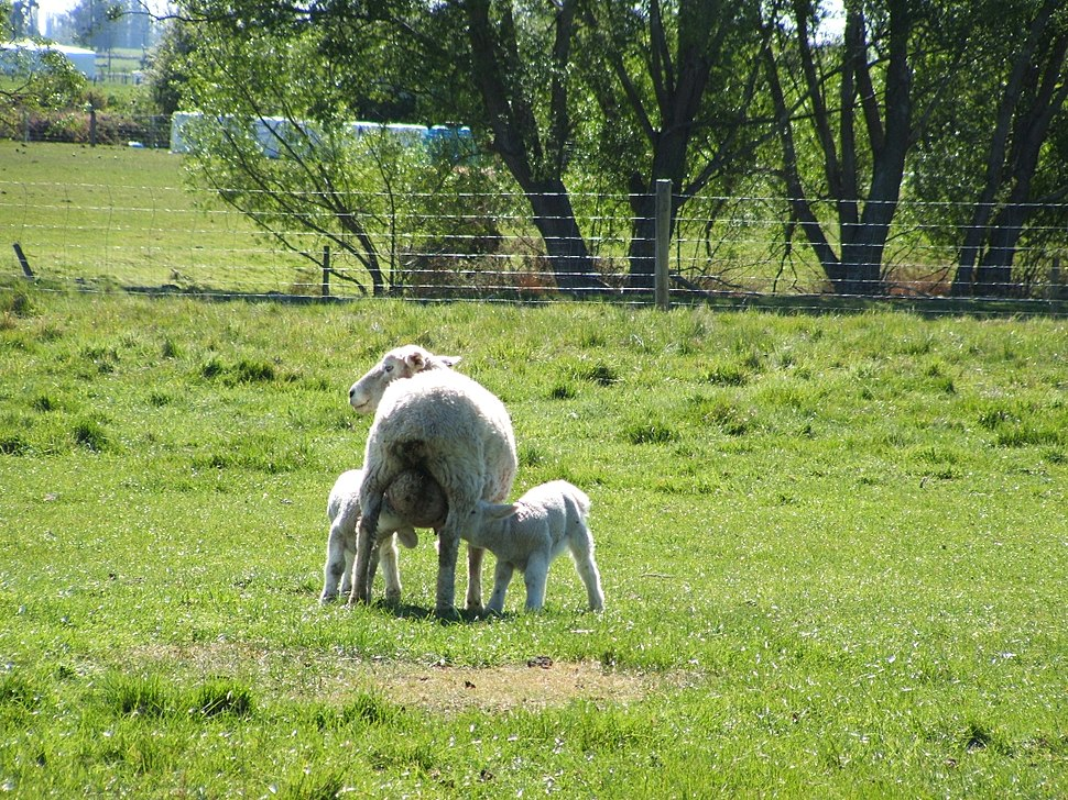 Baby sheep feeding