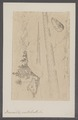 Baculites vertebralis - - Print - Iconographia Zoologica - Special Collections University of Amsterdam - UBAINV0274 089 09 0004.tif