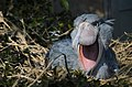 Balaeniceps rex -Ueno Zoo, Tokyo, Japan-8a (1).jpg