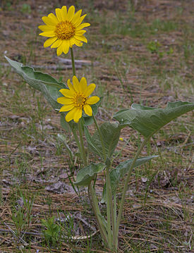 Balsamorhiza sagittata whole 20070422.jpg