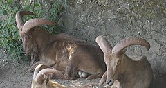 Barbary.sheep.750pix.jpg