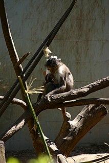 White-eyelid mangabey Genus of Old World monkeys