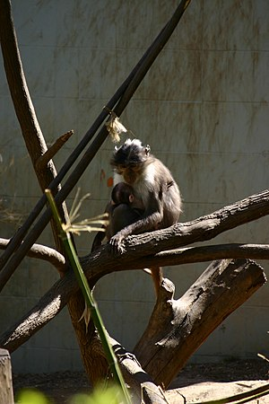 Sooty mangabey - White-collared Mangabey (C. atys lunulatus)