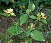 Barleria prionitis (Porcupine flower) in Hyderabad, AP W IMG 9989