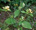 Barleria prionitis (Porcupine flower) in Hyderabad, AP W IMG 9989.jpg