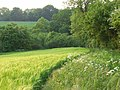 Barley, Bothampstead - geograph.org.uk - 814247.jpg