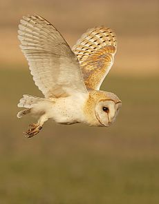 Barn Owl Fun.jpg