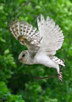 Barn Owl in flight at Lone Pine Koala Sanctuary.jpg