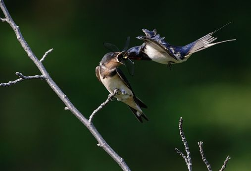 Barn swallow (feeding) at Tennōji Park in Osaka, June 2016.jpg