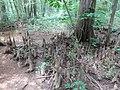 Battle Creek Cypress Swamp 26.jpg