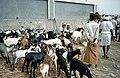 Bayt al-Faqih goats.jpg